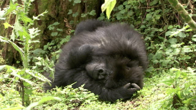 A mountain gorilla sleeps with arms and legs over its head. Available in HD.