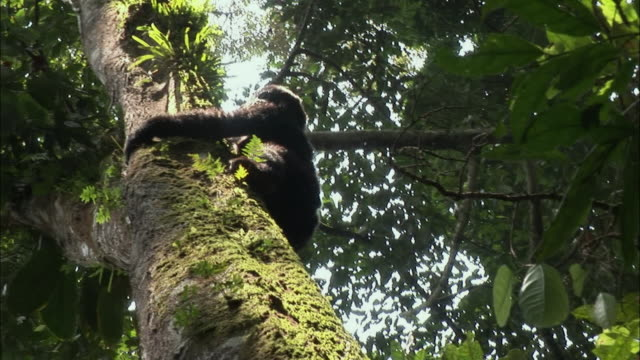 MS, Mountain Gorilla (Gorilla gorilla beringei) sliding down tree trunk, Bwindi Impenetrable Forest, Uganda, LA