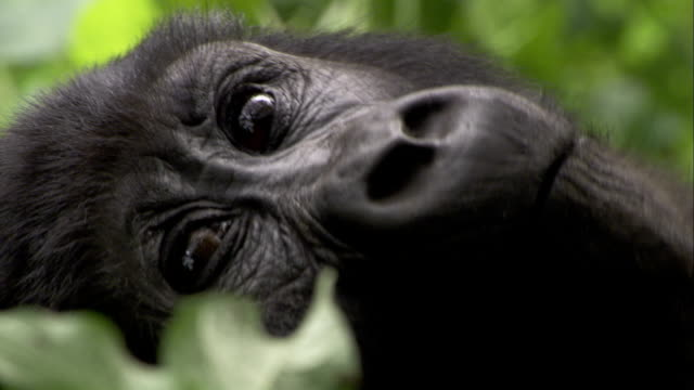A mountain gorilla stares as it turns its head. Available in HD.