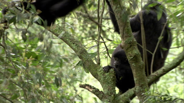 A mountain gorilla swings in a tree in the Bwindi Impenetrable Forest. Available in HD.