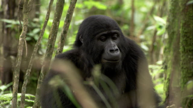 A mountain gorilla turns its head and stares in a forest. Available in HD.