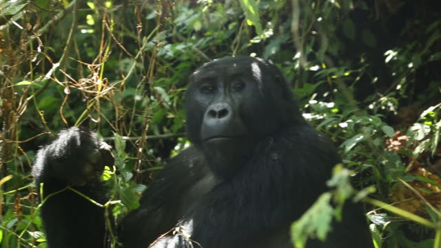 mountain gorilla (gorilla beringei beringei) - ウガンダ点の映像素材/bロール