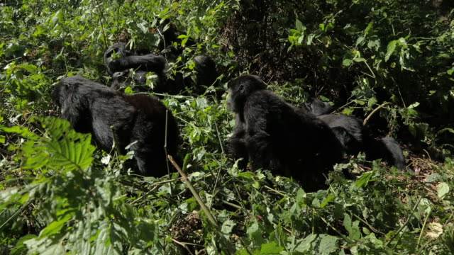 mountain gorilla (gorilla beringei beringei) - endangered species stock videos & royalty-free footage