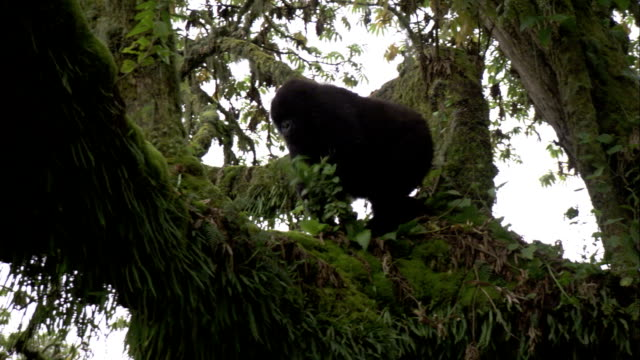 A mountain gorilla walks across a mossy tree branch. Available in HD.