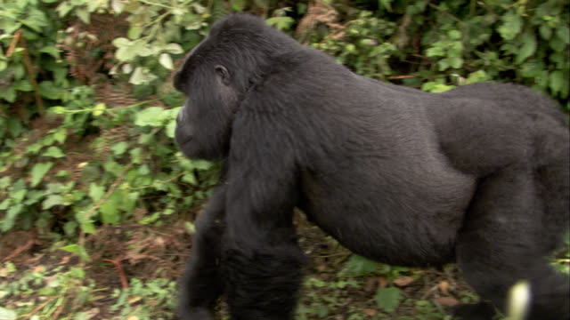 A mountain gorilla walks through the jungle. Available in HD.