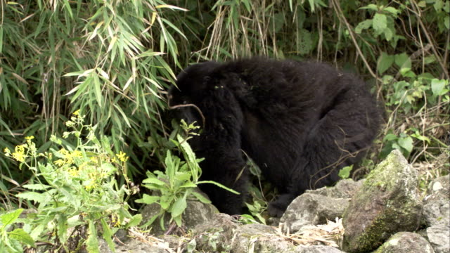A mountain gorilla walks toward jungle vegetation and retrieves a plant stalk. Available in HD.