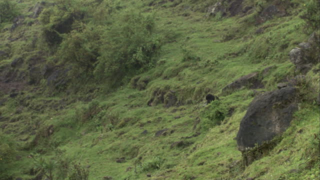 a mountain gorilla walks toward two other gorillas foraging among trees. available in hd. - foraging stock videos and b-roll footage