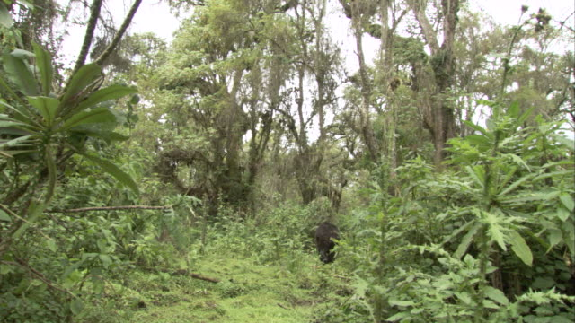 A mountain gorilla wanders through the jungle. Available in HD