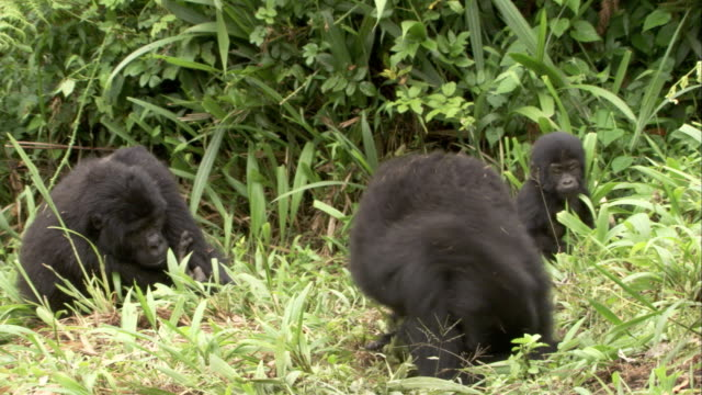 A mountain gorilla watches juveniles play in a clearing until a larger gorilla arrives. Available in HD.