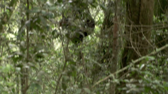 Mountain gorillas climb in the trees in the Bwindi Impenetrable Forest. Available in HD.