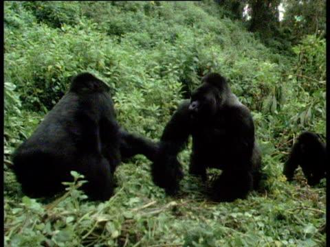 Mountain gorillas fight, juvenile joins in, Volcanoes National Park, Rwanda