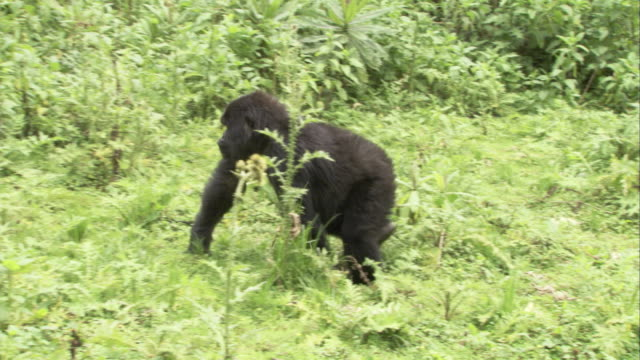 Mountain gorillas forage in the jungle. Available in HD