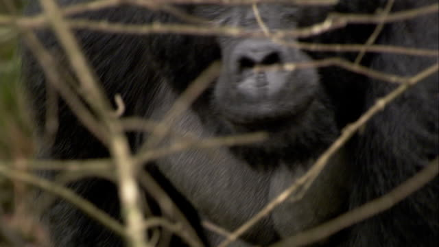 Mountain gorillas mate in the Bwindi Impenetrable Forest. Available in HD.