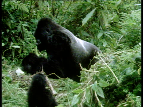 mountain gorillas mate in volcanoes national park, rwanda - monkey stock videos and b-roll footage