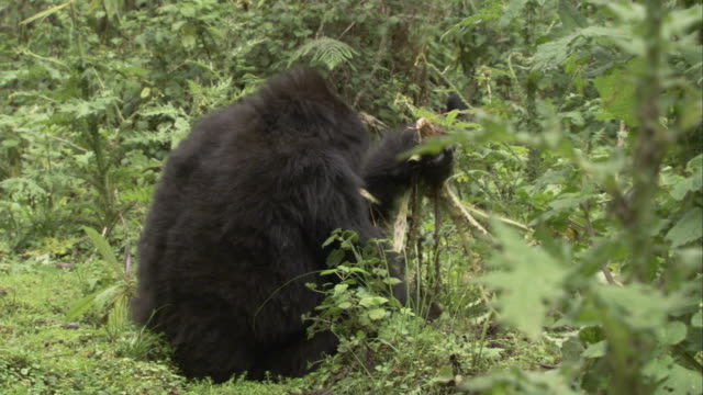 Mountain gorillas munch plants. Available in HD