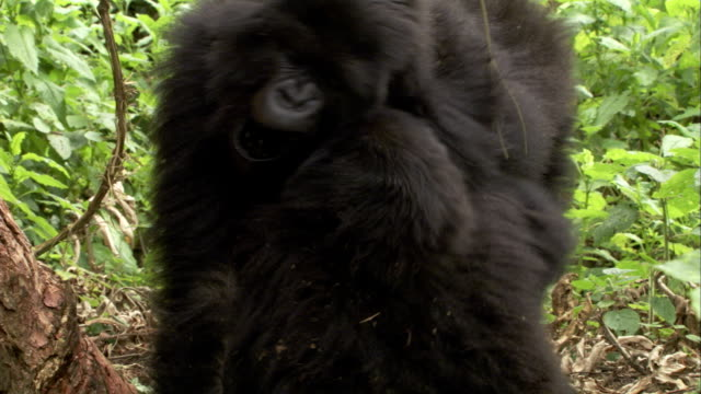 Mountain gorillas play and wrestle in the jungle. Available in HD