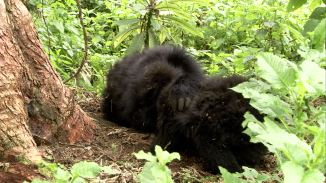 Mountain gorillas play in a forest. Available in HD