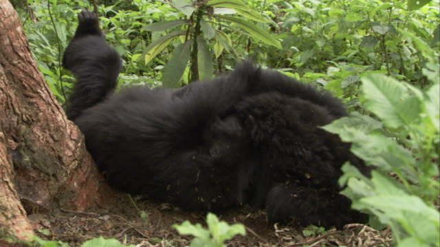 Mountain gorillas play in the forest. Available in HD