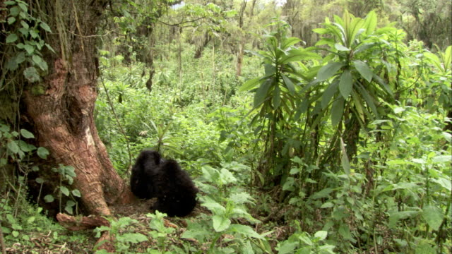 Mountain gorillas play in the jungle. Available in HD