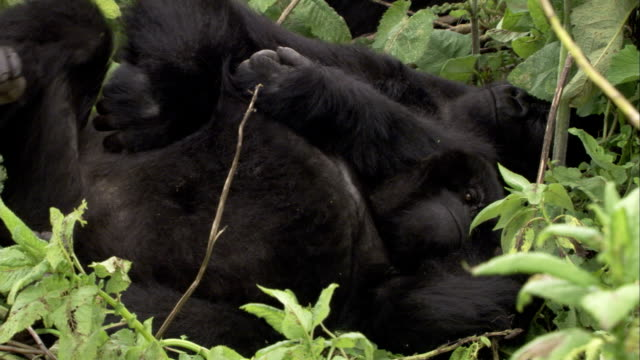 vídeos y material grabado en eventos de stock de mountain gorillas relax as they lie together. available in hd. - recostarse