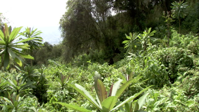 mountain gorillas rest in a clearing in the forest. available in hd. - animal nest stock videos & royalty-free footage