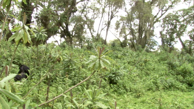 Mountain gorillas rest in the lush vegetation of a dense jungle. Available in HD