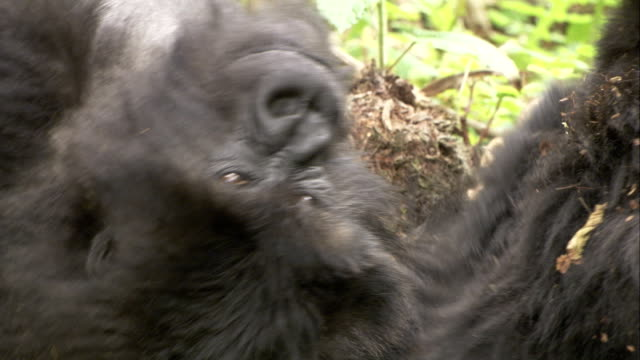 Mountain gorillas roll around on the forest floor. Available in HD