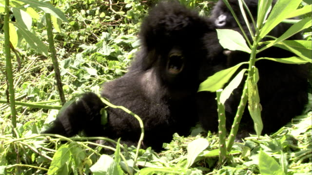 Mountain gorillas roll around playfully amongst foliage. Available in HD.