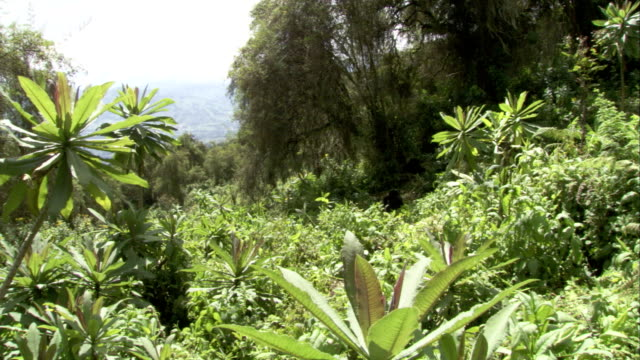 Mountain gorillas sit in a clearing in a forest. Available in HD.