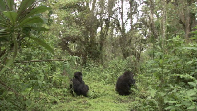 Mountain gorillas sit in the dense jungle. Available in HD