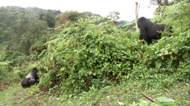 Mountain gorillas stand in a dense jungle. Available in HD.