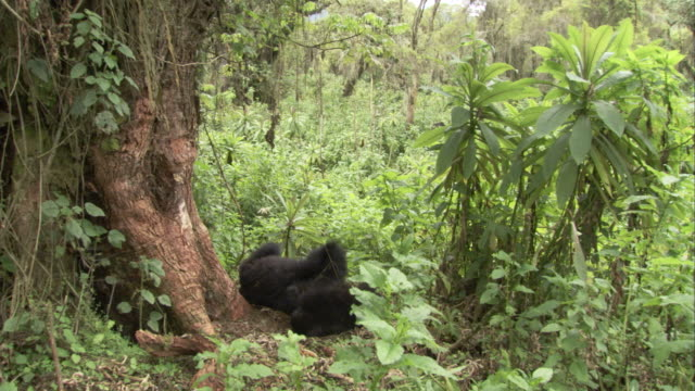 Mountain gorillas wrestle in the jungle. Available in HD