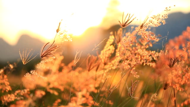 stockvideo's en b-roll-footage met berg de zonsondergang van de bloemen van het gras op de wind. - springtime