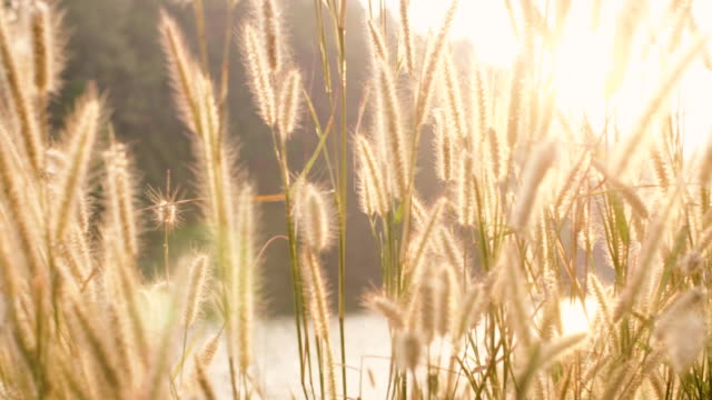 mountain grass flowers sunset on the wind - mae hong son province stock videos and b-roll footage
