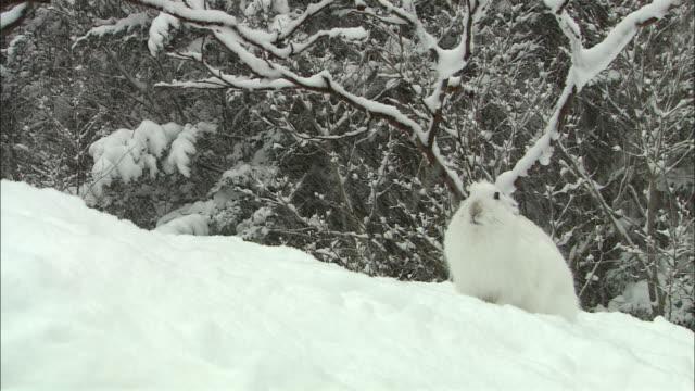 vidéos et rushes de mountain hare at sarobetsu national park in hokkaido - rongeur