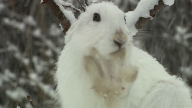 mountain hare at sarobetsu national park in hokkaido - national park stock videos & royalty-free footage