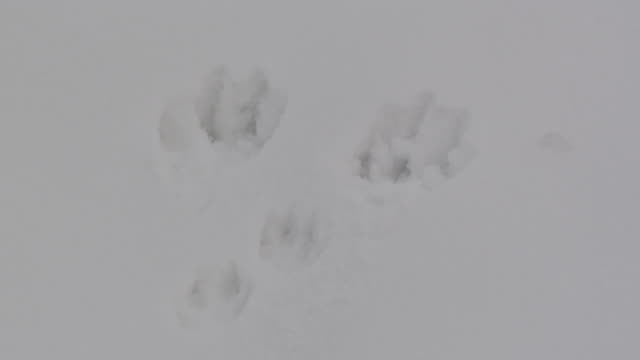 mountain hare (lepus timidus) footprints in snow, cumbria, england - footprint stock videos and b-roll footage