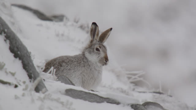 vidéos et rushes de mountain hare (lepus timidus) looks around on snowy mountainside, cumbria, england - rongeur