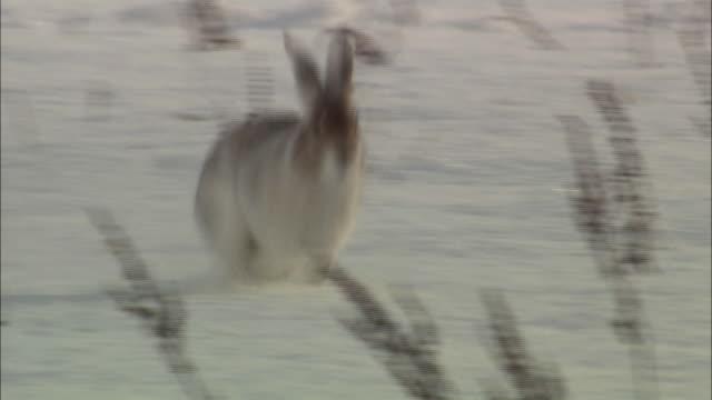 vidéos et rushes de mountain hare (lepus timidus ainu) of  wilderness of sarobetsu - rongeur