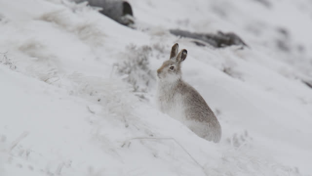 mountain hare (lepus timidus) runs away on snowy mountainside, cumbria, england - disguise stock videos and b-roll footage
