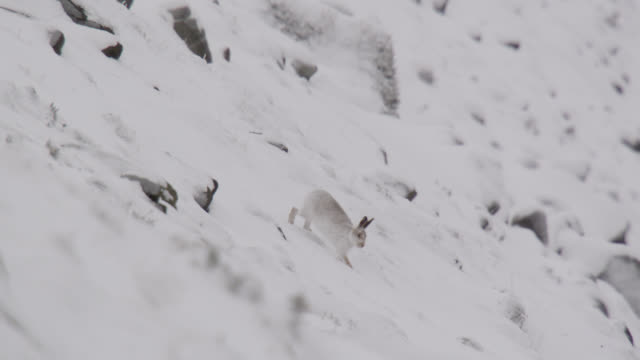 mountain hare (lepus timidus) runs on snowy mountainside, cumbria, england - disguise stock videos & royalty-free footage