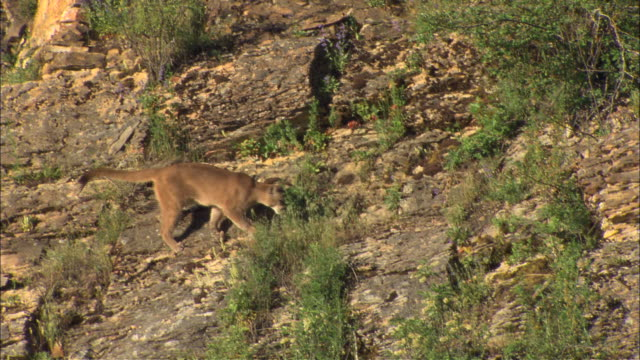 a mountain lion climbs down the face of a rocky hillside. - puma stock videos & royalty-free footage