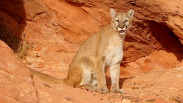 vídeos y material grabado en eventos de stock de ms ts mountain lion (puma concolor) emerges from a sandstone acove - puma