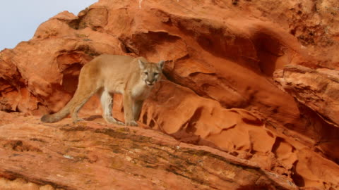 ms ts mountain lion (puma concolor) hesitates and changes direction while walking atop sandstone rocks - mountain lion stock videos & royalty-free footage