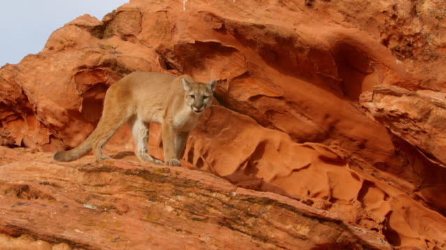 ms ts mountain lion (puma concolor) hesitates and changes direction while walking atop sandstone rocks - north america stock videos & royalty-free footage