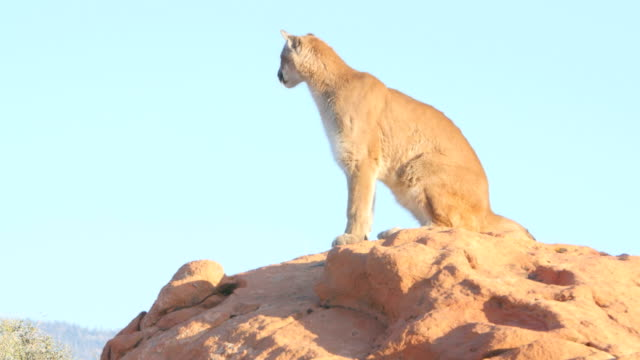 mountain lion (puma concolor) in the southwest usa. - mountain lion stock videos & royalty-free footage