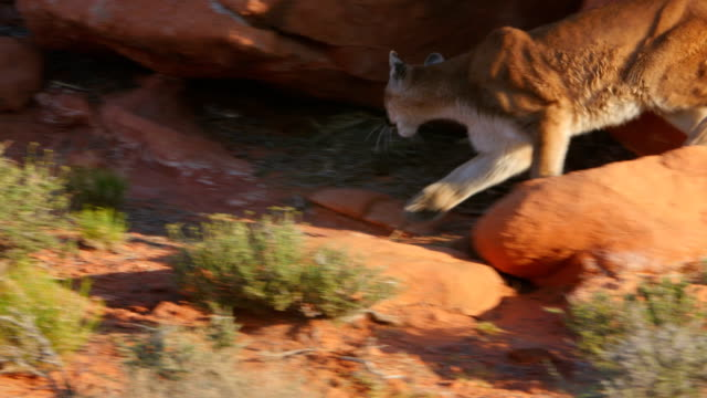 mountain lion (puma concolor) in the southwest usa. - puma stock videos & royalty-free footage