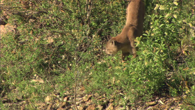 a mountain lion investigates shrubbery growing on a hillside. - puma stock videos & royalty-free footage