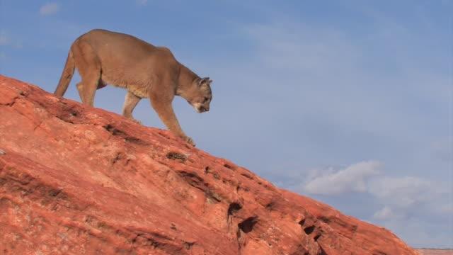 vídeos y material grabado en eventos de stock de ms mountain lion (puma concolor) jumps across rocks - side view /utah, usa - puma