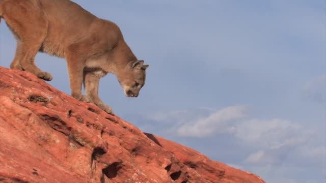 MS TS Mountain Lion (Puma concolor) jumps across rocks - side view /Utah, USA